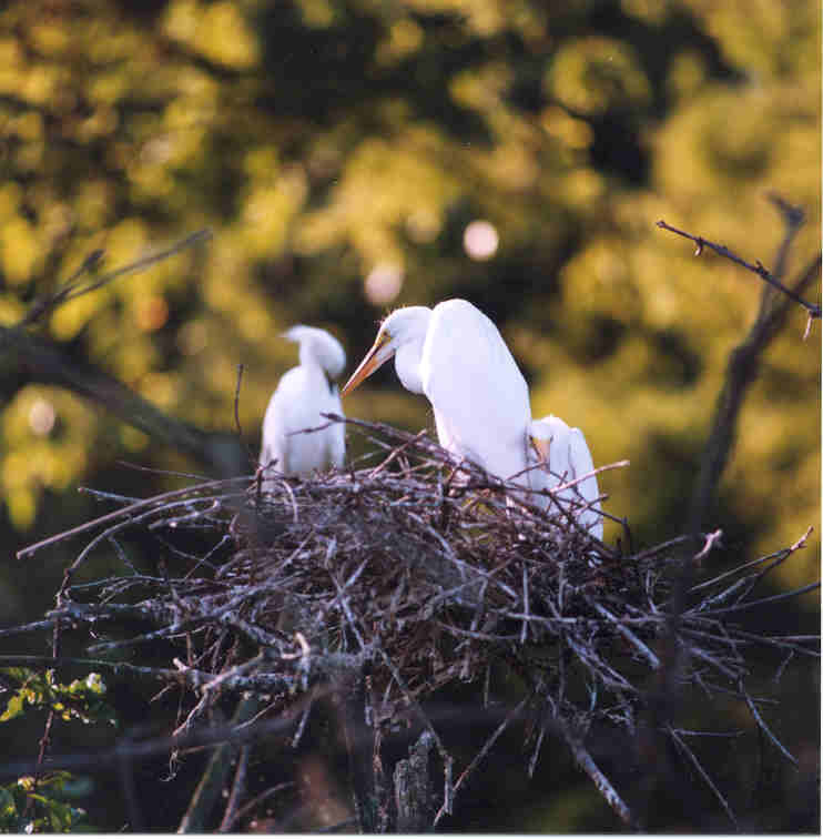 Egret with Siblings